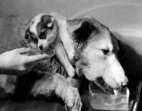experimento del perro de dos cabezas