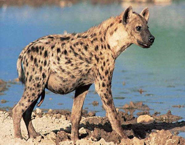 la hiena y sus especies