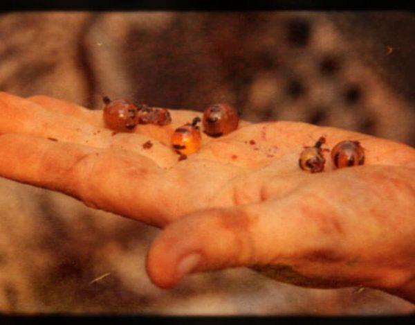 hormigas melíferas