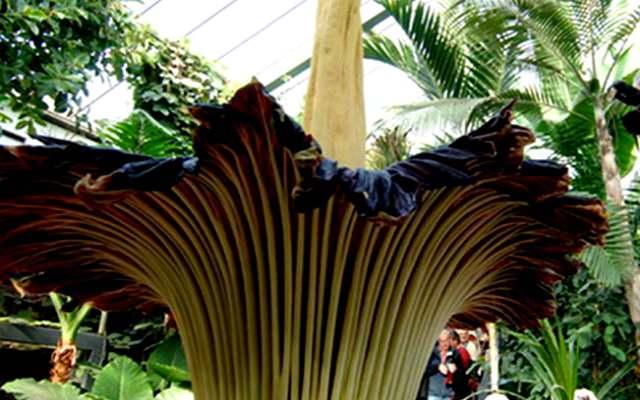 Cuál es la flor más grande del mundo