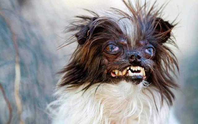 El perro más feo del mundo