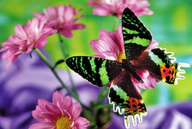 características de las mariposas