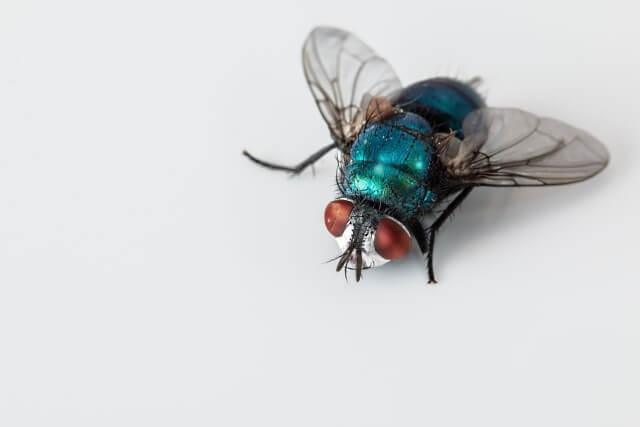 metamorfosis de la mosca