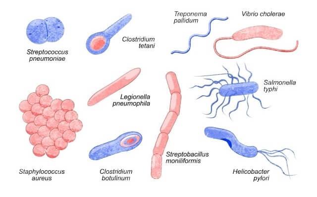 cómo se reproducen las bacterias