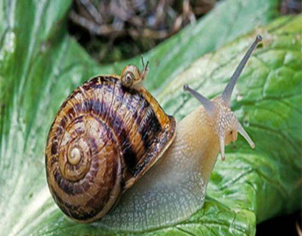cómo es la concha de un caracol