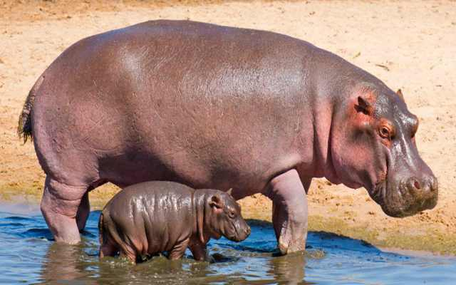Hipopótamo Características, Hábitat, Alimentos y Reproducción