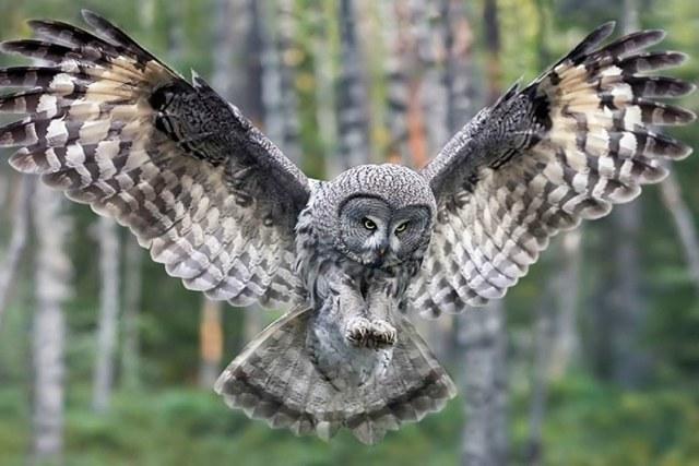 curiosidades sobre los búhos