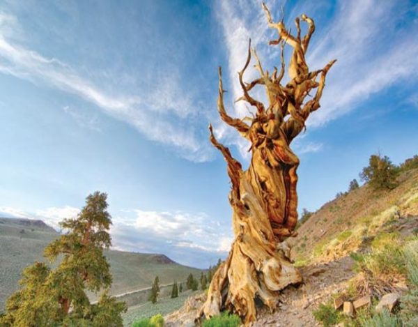 Los 10 árboles más viejos del mundo