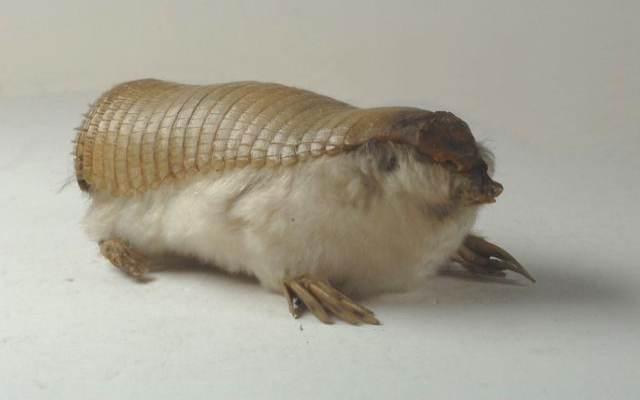 El armadillo pichiciego el más raro