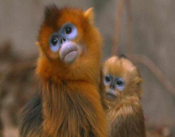 Mono dorado de nariz chata y sus curiosidades