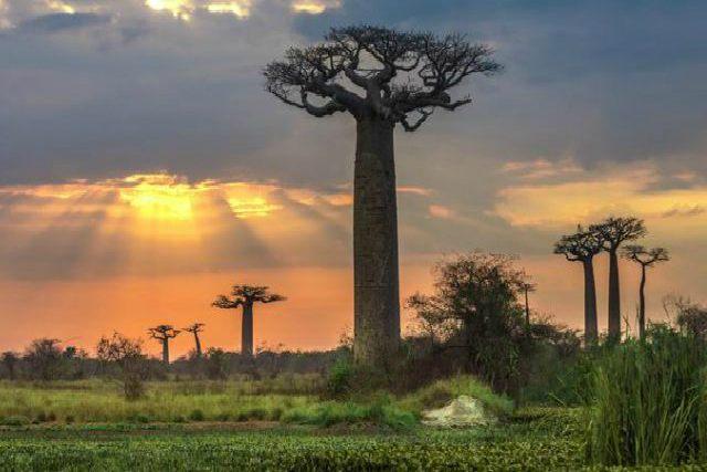 Los baobabs, árboles milenarios de África