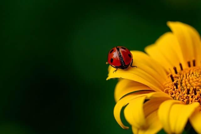 insecto mariquita