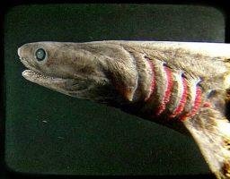 tiburón anguila prehistórico