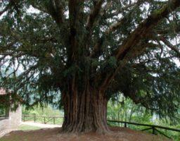 árboles más emblemáticos de España