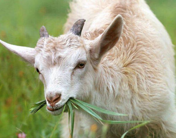 10 curiosidades sobre las cabras que no conocías