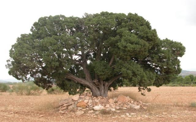 Los 10 árboles más emblemáticos de España