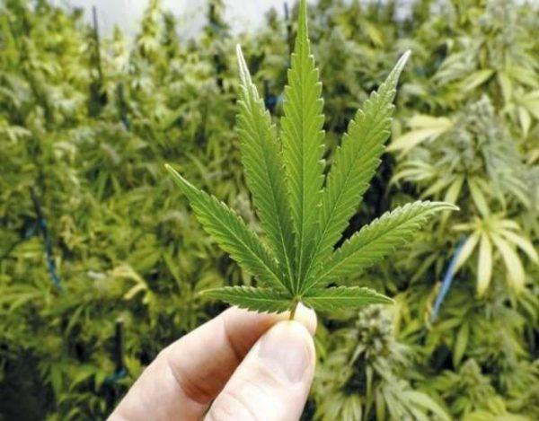 Por qué la marihuana sirve para el dolor