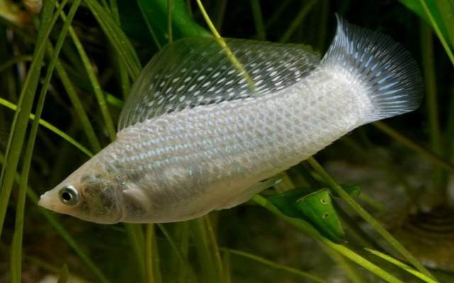 El pez molly sorprende a la ciencia