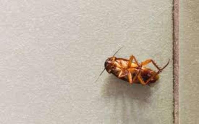Por qué las cucarachas siempre mueren boca arriba