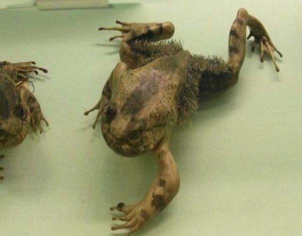 Datos sobre la rana peluda