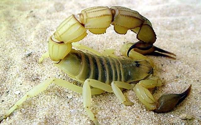 Top 10 de los escorpiones más peligrosos
