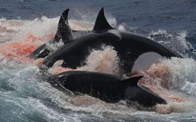 Por qué se le conoce como orcas asesinas