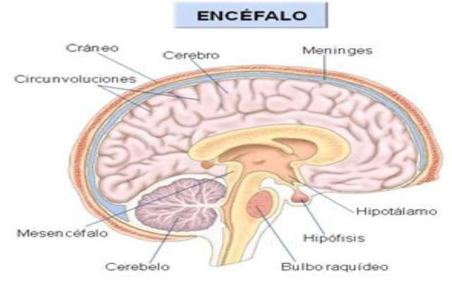 Qué es el encéfalo y sus funciones