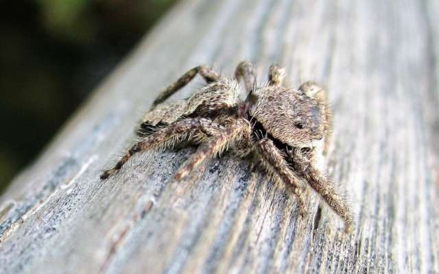 Araña saltadora, características y su ataque