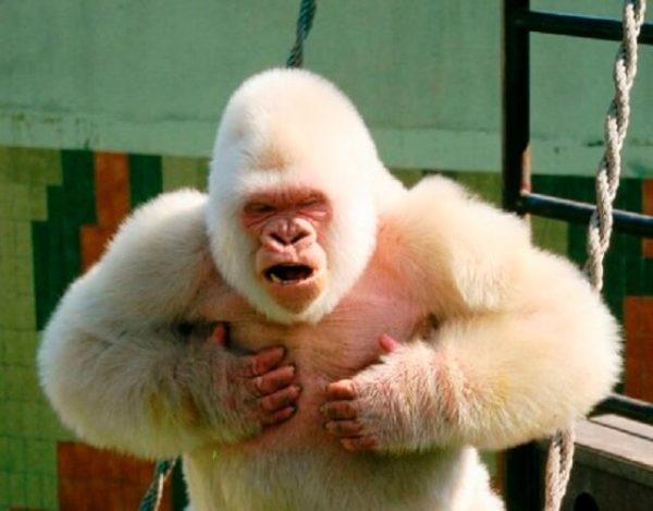 7 datos sobre el gorila albino Copito de nieve