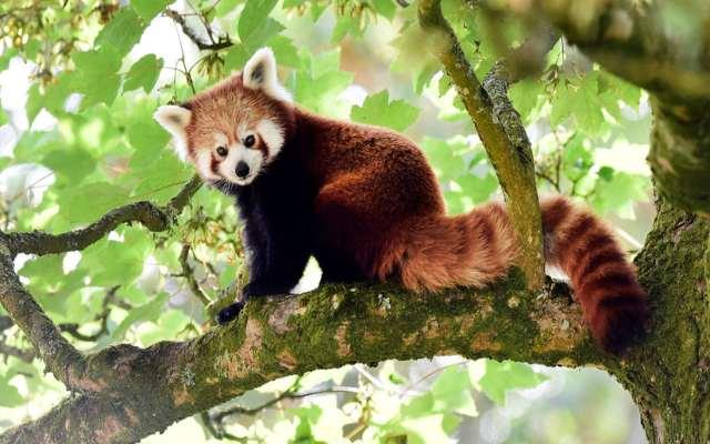 Curiosidades sobre el Panda rojo