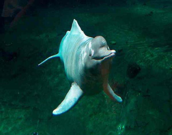 5 nuevas especies de delfines de rio