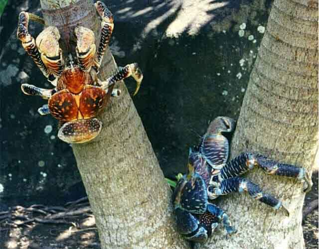 cangrejo cocotero