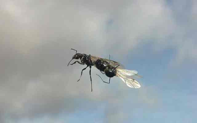 Curiosidades sobre las hormigas voladoras
