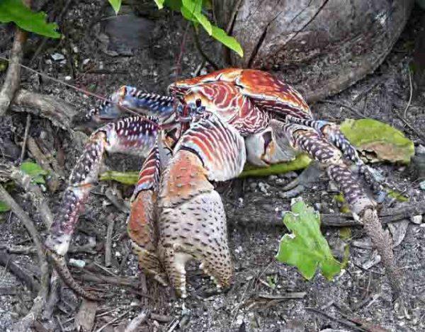 El extraño cangrejo cocotero