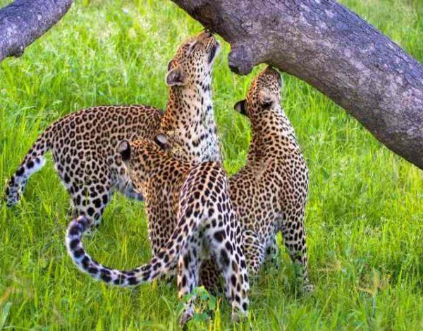 Por qué los animales marcan con la orina su territorio
