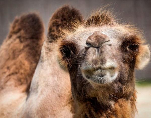por qué tienen joroba los camellos
