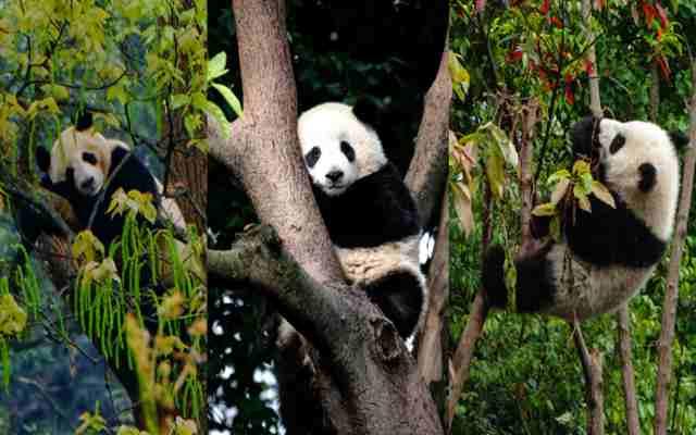 El oso panda no siempre fue chino