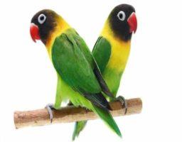 Agapornis, entre las aves más inteligentes del mundo