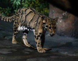 Reaparece el leopardo nublado de Formosa
