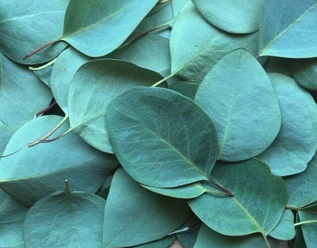 árbol del eucalipto