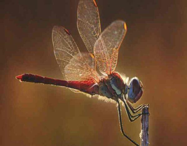 10 curiosidades de las libélulas
