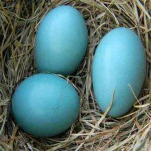 El misterio de la gallina de huevos azule