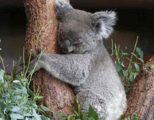 Koala Características, Qué come, Dónde vive y Crías
