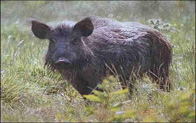 8 curiosidades sobre el cerdo salvaje
