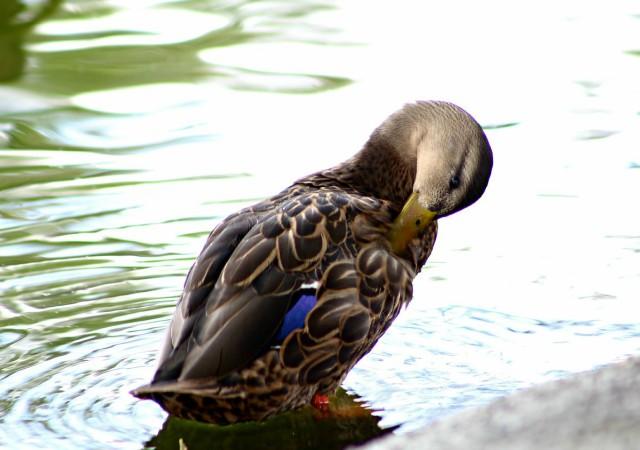 curiosidades sobre los patos