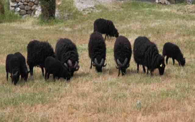 Por qué hay pocas ovejas negras