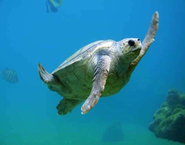 7 curiosidades sobre las tortugas marinas