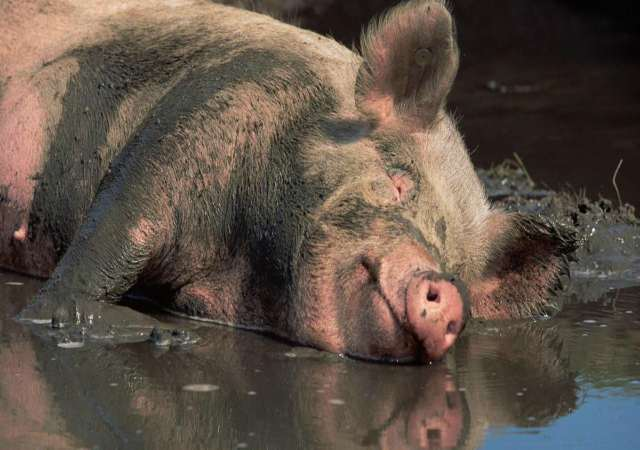 los cerdos no sudan