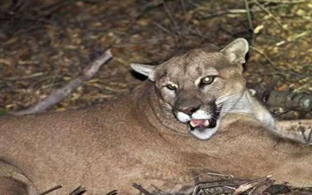 Puma, curiosidades y características del animal salvaje