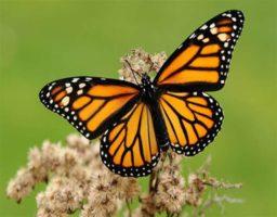10 cosas que no sabías de la mariposa Monarca